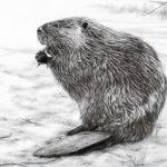 Beaver Jennifer-Pimentel-