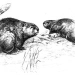 beaver-15