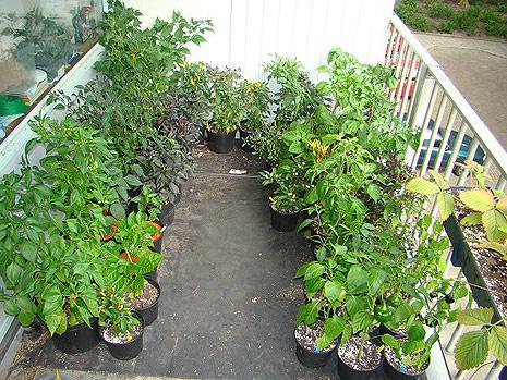 Domácí zelenina z balkonu